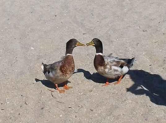 duck&muck