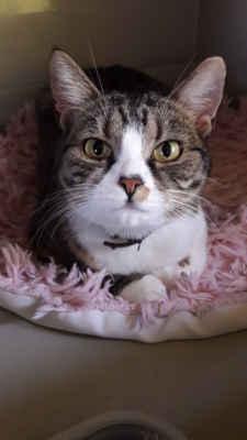 17.9.2020 - Při běžné veterinární prohlídce byl slyšitelný srdeční selest, proto bylo srdíčko podrobněji vyšetřeno ultrazvukem, kde se bohužel zjistilo onemocnění HCM. Fanynka tedy bude muset každý den užívat léky, což ji ale nečiní žádné potíže. Naštěstí se onemocnění podchytilo v počáteční fázi, zatím je kočička naprosto bez příznaků, jen z prostředí útulku je hodně nesvá, velké množství koček nemá ráda a těžce nese ten návrat po umístění do nového domova, zpět do útulku, stále se dobrovolně zdržuje v karanténní kleci. NALÉHAVĚ PRO NI HLEDÁME DOMOV U JEDNÉ KOČIČÍ KAMARÁDKY. Je vhodná jako společnice ke kočce, do bytu se zasíťovaním.