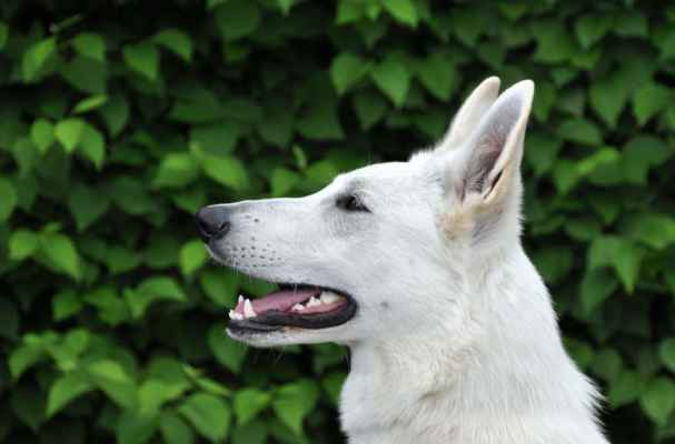 CHEILA od Kunovského lesa /CÉSAR Pett´s Wolf x HAIDI od Kunovského lesa/