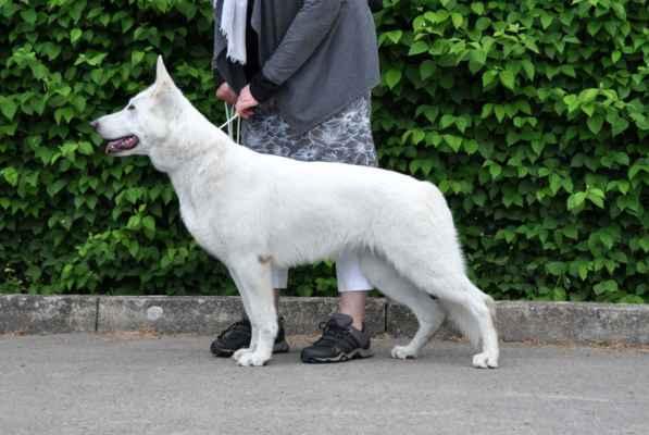 ARETA Polární vlk /CÉSAR Pett´s Wolf x EVOLET SAGA Beli Andeo/