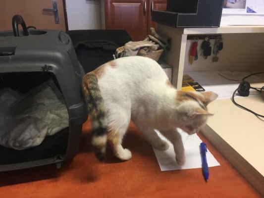 18.9.2020 - Oznamovatel z Moravské Nové Vsi slyšel mňoukaní ze svého zaparkovaného auta a když ho otevřel, našel malé kotě. Je to asi 4 měsíční mazlivá kočička a dostala jméno Romanka.