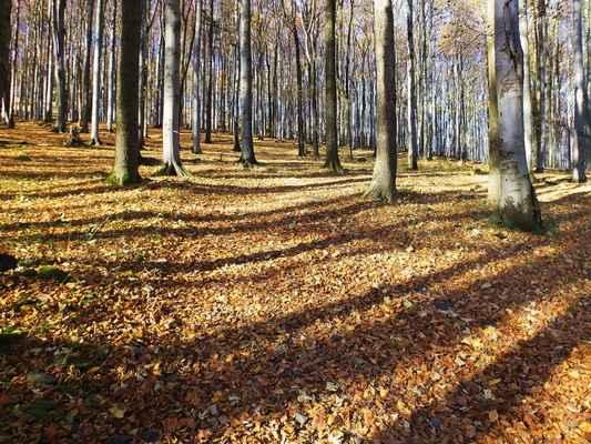 """jedinečný prales na jižním svahu studence byl chráněn již od roku 1906, kdy jej """"osvícený"""" majitel panství pan hrabě kinský vyhlásil bezzásahovou rezervací. od roku 1965 je chráněna státem celá hora jako rezervace """"studený vrch""""..."""