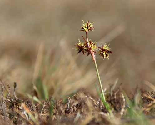 Bika ladní (Luzula campestris)