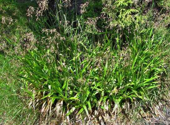 Bika lesní (Luzula sylvatica)