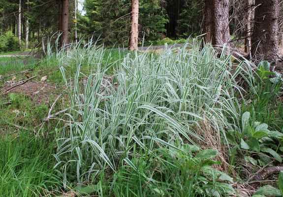 Chrastice rákosovitá, varieta picta (Phalaris arundinacea var. picta)