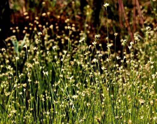 Hrotnosemenka bílá (Rhynchospora alba) - C2b, §1
