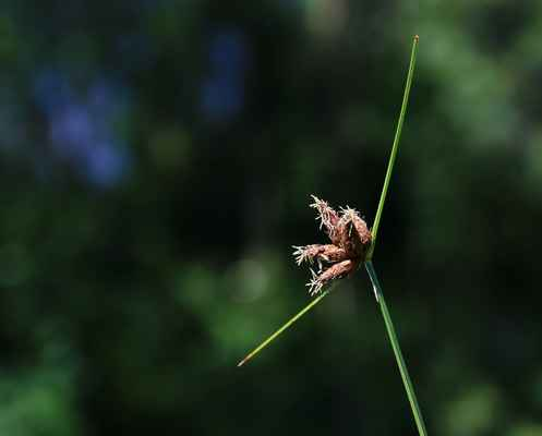 Kamyšník přímořský (Bolboschoenus maritimus) - C2b