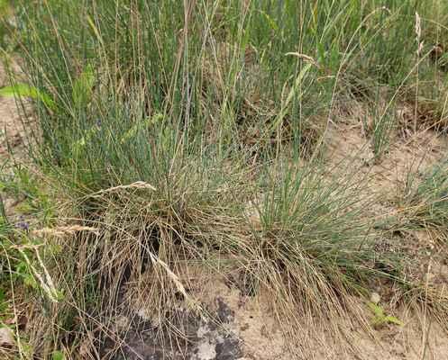 Kostřava písečná (Festuca psammophila) - C1t