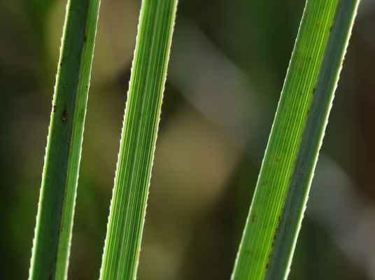 Mařice pilovitá (Cladium mariscus) - C1r, §1