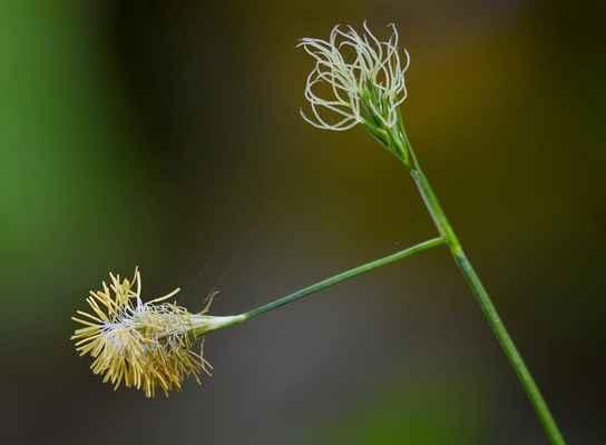 Ostřice Micheliova (Carex michelii) - C3