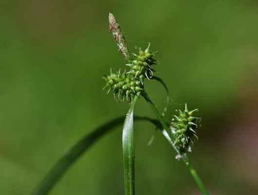 Ostřice Oederova (Carex oederi) - C2b