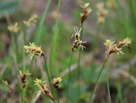 Ostřice časná (Carex praecox)