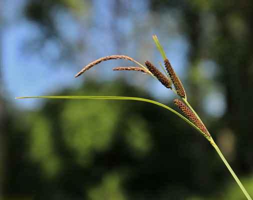 Ostřice černoklasá (Carex melanostachya) - C2t, §2