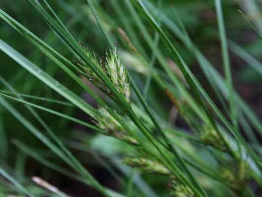 Ostřice ječmenovitá (Carex hordeistichos) - C2t, §1