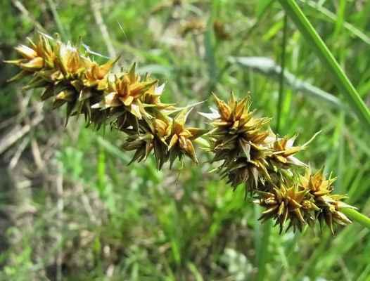 Ostřice liščí (Carex vulpina)