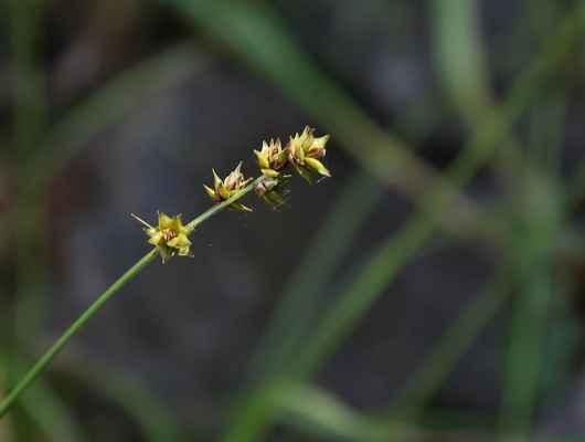 Ostřice měkkoostenná (Carex muricata)