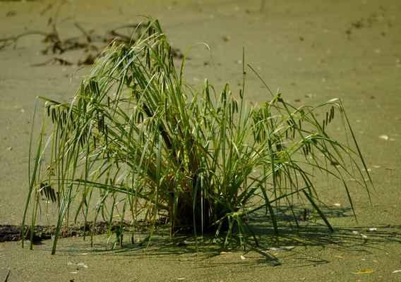 Ostřice nedošáchor (Carex pseudocyperus) - C4a