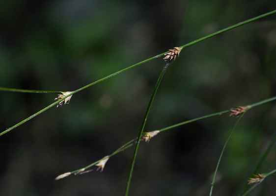 Ostřice řídkoklasá (Carex remota)