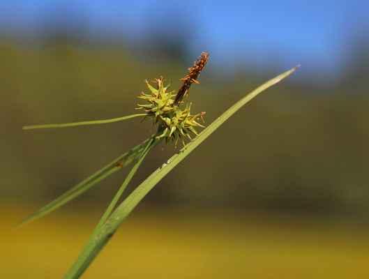 Ostřice rusá (Carex flava) - C4a