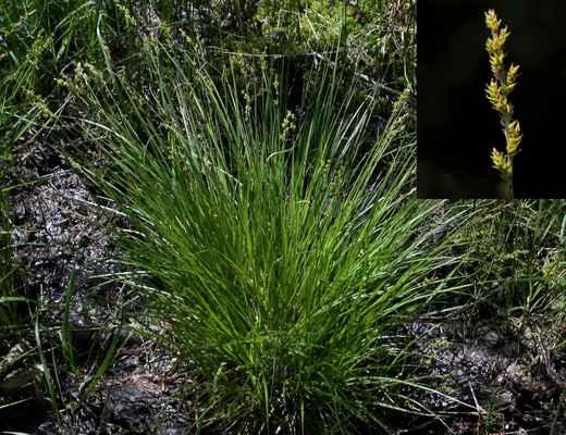 Ostřice šedavá (Carex canescens)