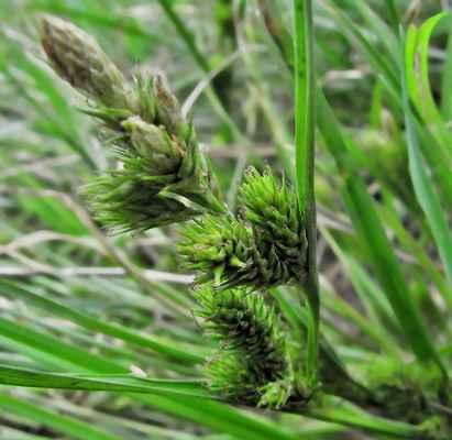 Ostřice žitná (Carex secalina) - C2t, §2