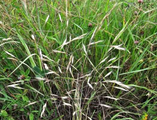Ovsiřík štíhlý (Ventenata dubia) - C1t