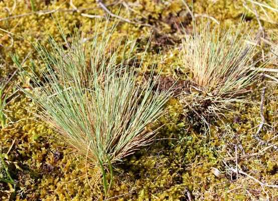Paličkovec šedavý (Corynephorus canescens) - C4a