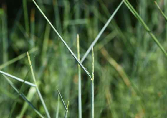 Pýr prostřední (Elymus hispidus) - C4a