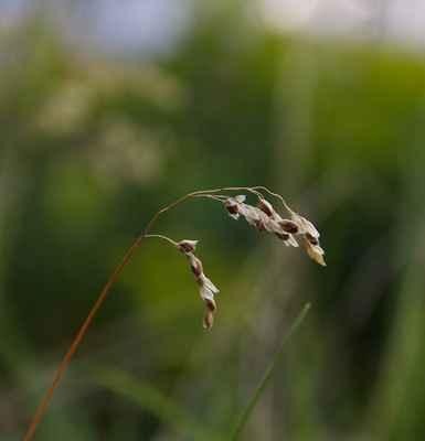 Tomkovice jižní (Hierochloë australis) - C3
