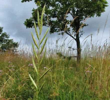 Válečka prápořitá (Brachypodium pinnatum)