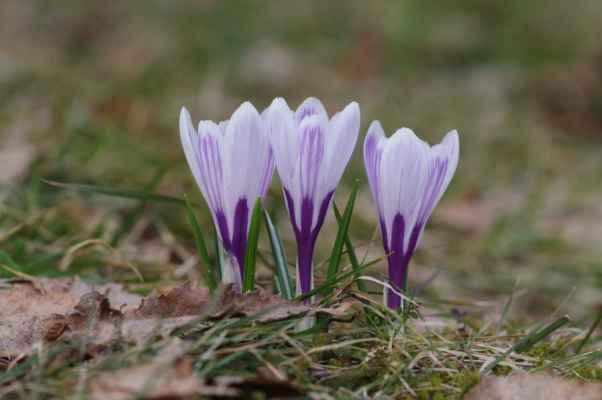 tato, prý až 15 cm vysoká bylina, pochází z rakouských alp...