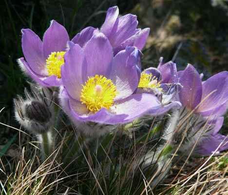 koniklec otevřený je důvodem, proč byla na holém vrchu v roce 1949 zřízena přírodní rezervace...