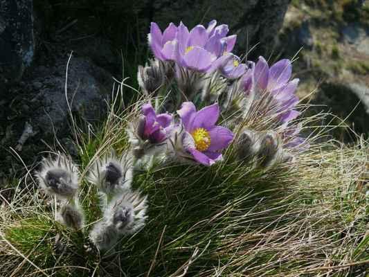 koniklec otevřený je kriticky ohrožený druh, který hlavně v čechách téměř vyhynul...