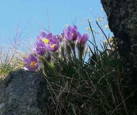 v jedné skalní rozsedlině se objevil nádherný trs koniklece otevřeného...