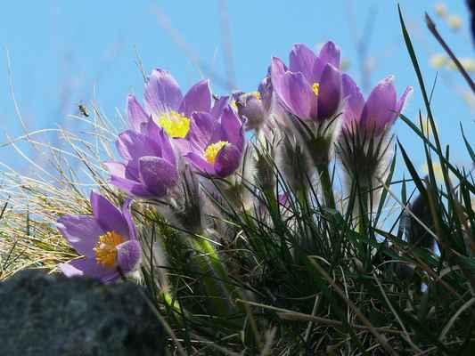 prý ještě v 70. letech se na trávnících holého vrchu rozprostíraly koberce čítající desítky tisíc jedinců těchto nádherných rostlin a dnes by se daly spočítat na prstech...