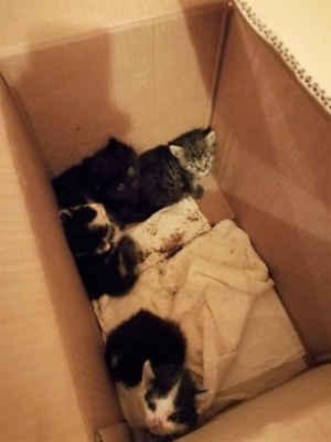 6.10.2020 - Oznamovatel se vracel z STK, na Pánově v Hodoníně a u silnice uviděl krabici. Co v ní bylo? Kdo hádá, že vyděšená koťata, hádá správně ... Koťata mají 7 - 8 týdnů, u nás jsou velmi ohrožena, pokud by jim někdo chtěl dát domov a vzít si je (po dvou), klidně nám zavolejte, domluvíme se, poradíme vám, v bezinfekčním prostředí nového domova mají větší šanci. Telefon 724 142 463.