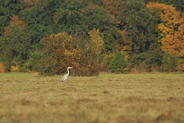Na lovu - Volavka popelavá