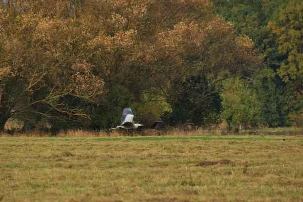 V letu - Volavka popelavá