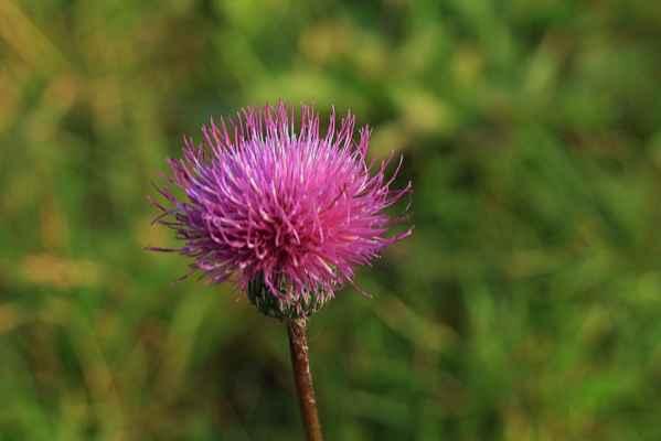 Ještě kvetu - Bodlák