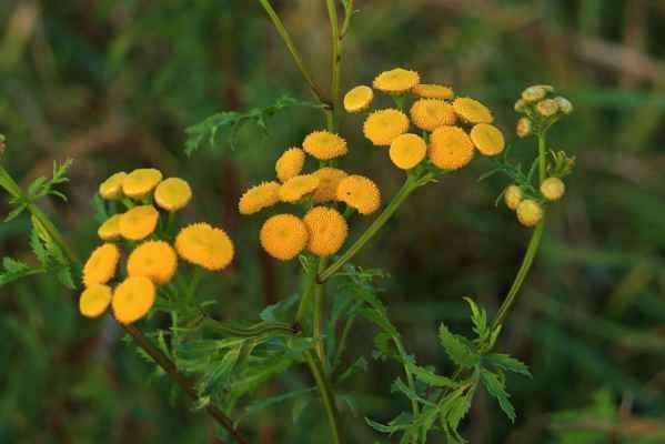 Ještě kvetu - Vratič obecný