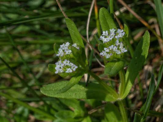 Valeriánka poľná - Valerianella locusta (L.) Laterr. (kozlíček polníček), čeľaď Valerianaceae (valeriánovité)