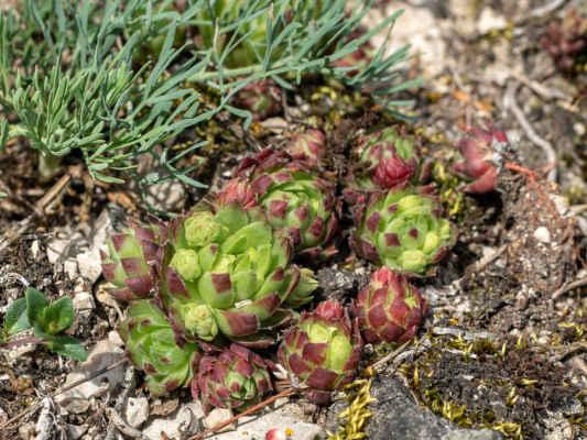 Skalničník guľkovitý lysavejúci - Jovibarba globifera subsp. glabrescens (Sabr.) Letz, ined. (netřeskovec), čeľaď Crassulaceae (tučnolistovité)