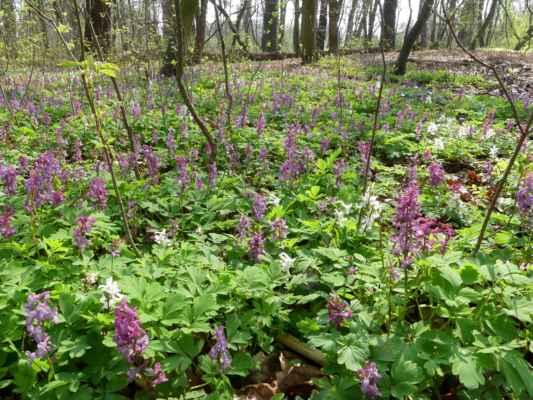 Vešla jsem do lesa, přírodní rezervace Káraný - Hrbáčkovy tůně (dřívější název Lipovka - Grado). Krásný listnatý les, teď zrovna potopený v květech dymnivek, sasanek, orsejů ...