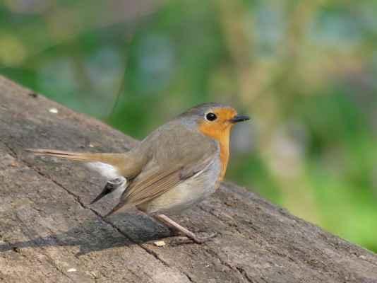 Červenka obecná jako jeden z mnoha zdejších ptáčků. Les byl celý rozezpívaný ...