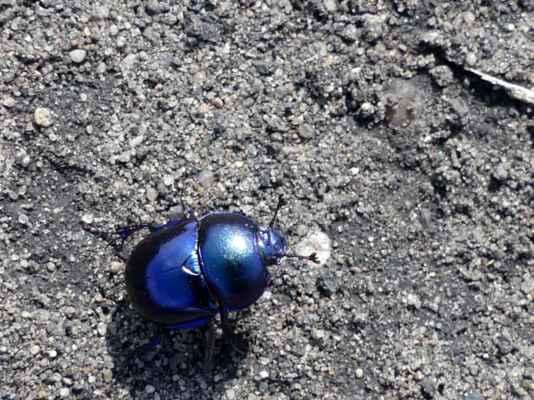 Takový hezky modrý chrobák. Tedy chrobák jarní (zdroj: slavikbezruze). Chvilku stál celý nastražený, než se vydal dál a ...