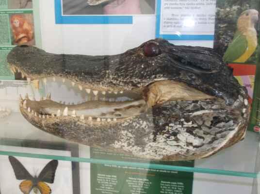 Vypreparovaná hlava aligátora
