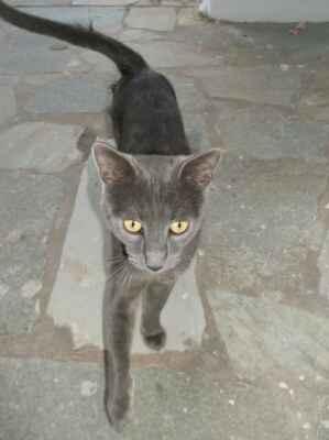 Krétská kočka