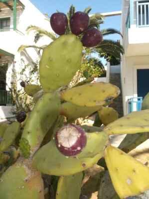 Opuncie (Opuntia), česky též nopál, je rod rostlin z čeledi kaktusovité (Cactaceae). Tyto rostliny jsou původem z oblasti rozkládající se od Kanady až po Ohňovou zemi. Ovoce – plod opuncie se konzumuje syrový, všelijak upravovaný; v podobě džusů; alkoholických nápojů; džemů (melcocha, queso de tuna, miel de tuna); přidává se do různých cukrovinek, do čajových směsí nebo se z něj vyrábí tekuté sladidlo. Nedal jsem na radu zkušenějšího a plody trhal nezakrytými prsty a dlaněmi. Téměř neviditelné chlupy-ostny jsem pak bolestivě cítil v prstech a dlaních ještě pár dní. Ale plody jsou skvělé!