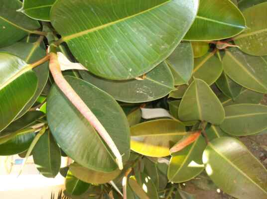 Fíkovník pryžodárný??? Ficus elastica 'Melany' XL???