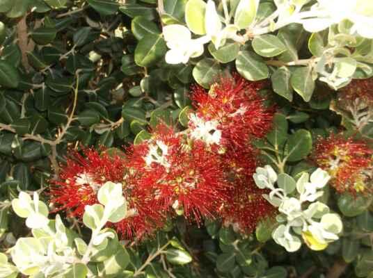 Kalistemon neboli štětkovec (citronový) – exotická okrasná rostlina Některé květiny jsou opravdu nádherné, ale názvy, které jsme jim dali, jejich nádheru nikterak nezdůrazňují. Spíše naopak. A právě kalistemon patří k těmto květinám. Jeho nádherná květenství netradičního tvaru bohužel dala vzniknout českému názvu štětkovec, i když ani angličtina, němčina a francouzština ho nepočastovala jiným názvem. V těchto zemích získal pojmenování podle štětky na lahve: Bottlebrush, Zilinderputzer a rince-bouteille. Plody těchto rostlin jsou dřevnaté tobolky, které zůstávají na keřích po mnoho let. Zajímavostí je, že v buši, kde vznikají často požáry, se podle plodů určuje doba posledního požáru.  V našich zeměpisných šířkách se s kalistemonem, jinak nazývaným nitkokvět citronový (Callistemon citrinus), setkáme nejčastěji v zimních zahradách, anebo jako s pokojovými rostlinami.